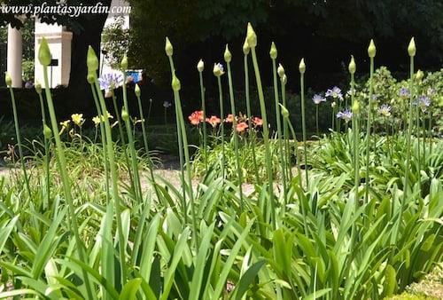 Agapanthus africanus, en macizo floral, con pimpollos cerrados a finales de la primavera