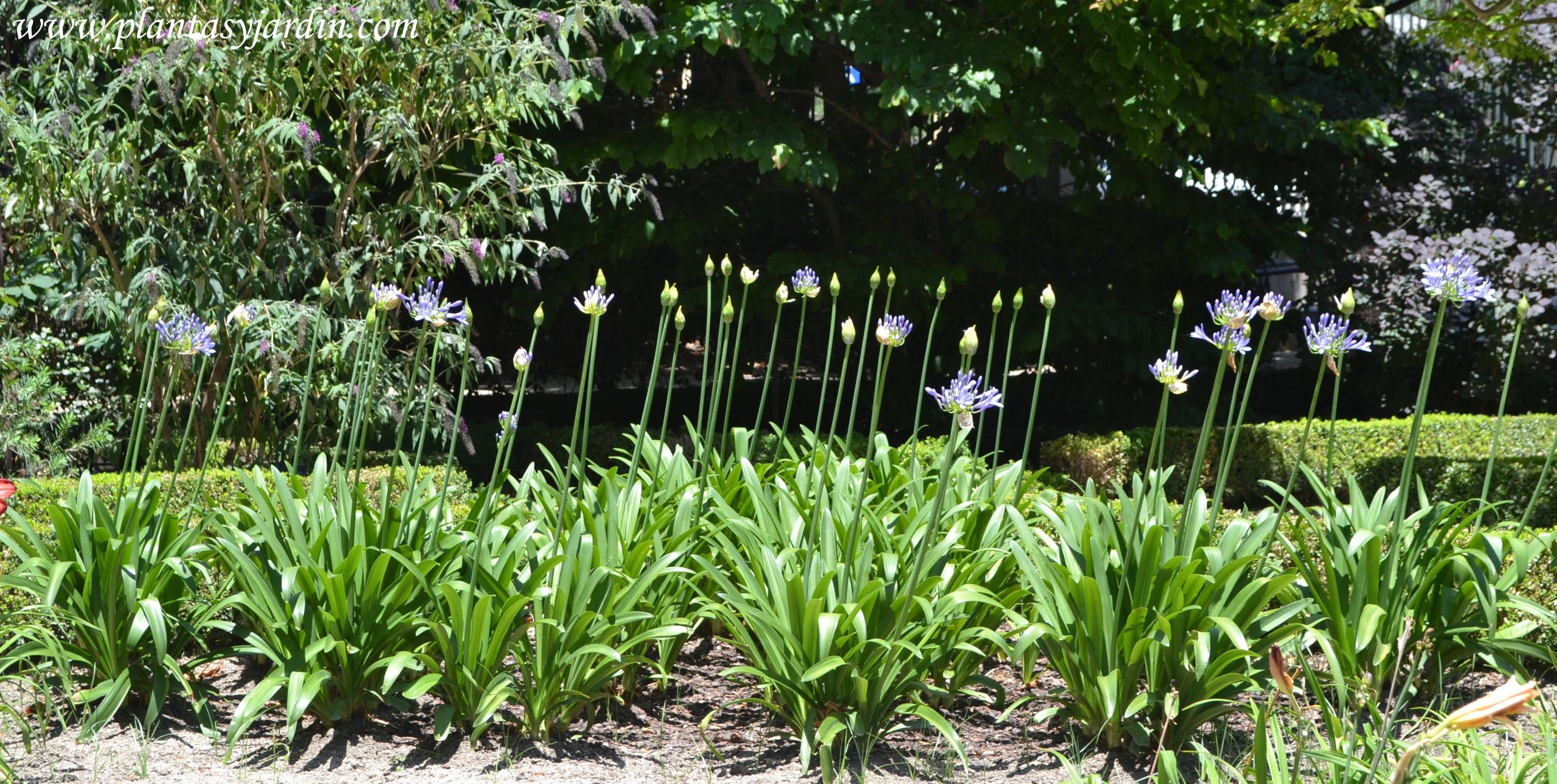 Agapanthus africanus, florecidos en verano.
