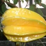 Averrhoa carambola-Carambolo, detalle fruto.