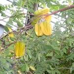 Averrhoa carambolo-Carambola, en planta con frutos.
