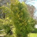 Bambú chino-Phyllostachys aurea