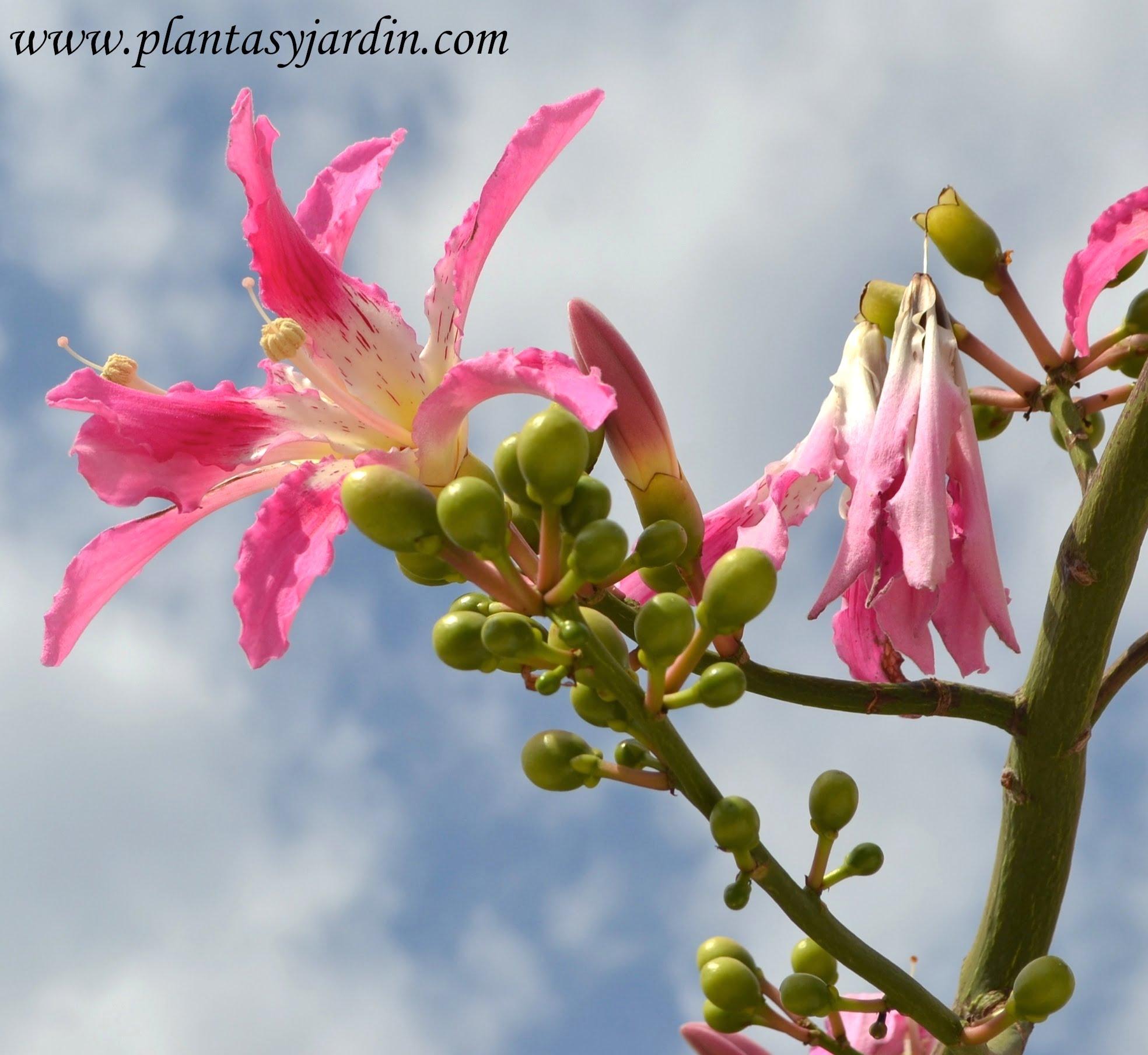 Chorisia Ceiba speciosa en verano