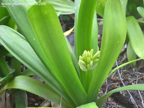 Clivia con los capullos cerrados a punto de florecer