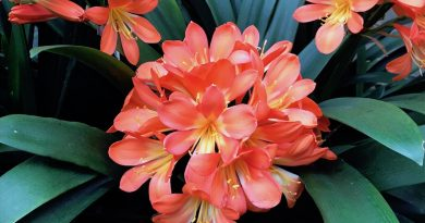 Clivia miniata detalle de inflorescencias en densas umbelas de color naranja
