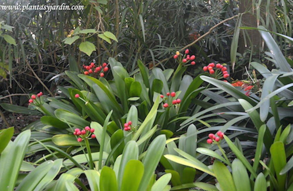 Clivias con frutos en la planta