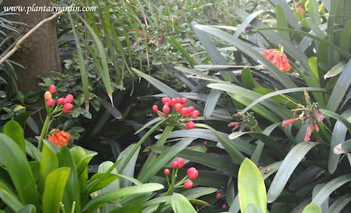 Clivias en el Jardin de Marimurtra