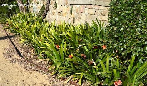 Clivias florecidas a comienzos de primavera en el Jardin del Teatre Grec en Barcelona