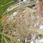 Cordyline australis, detalle inflorescencia.