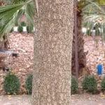 Cordyline australis, detalle tronco.