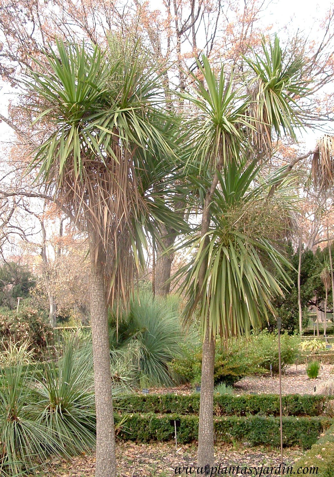 Cordyline australis.