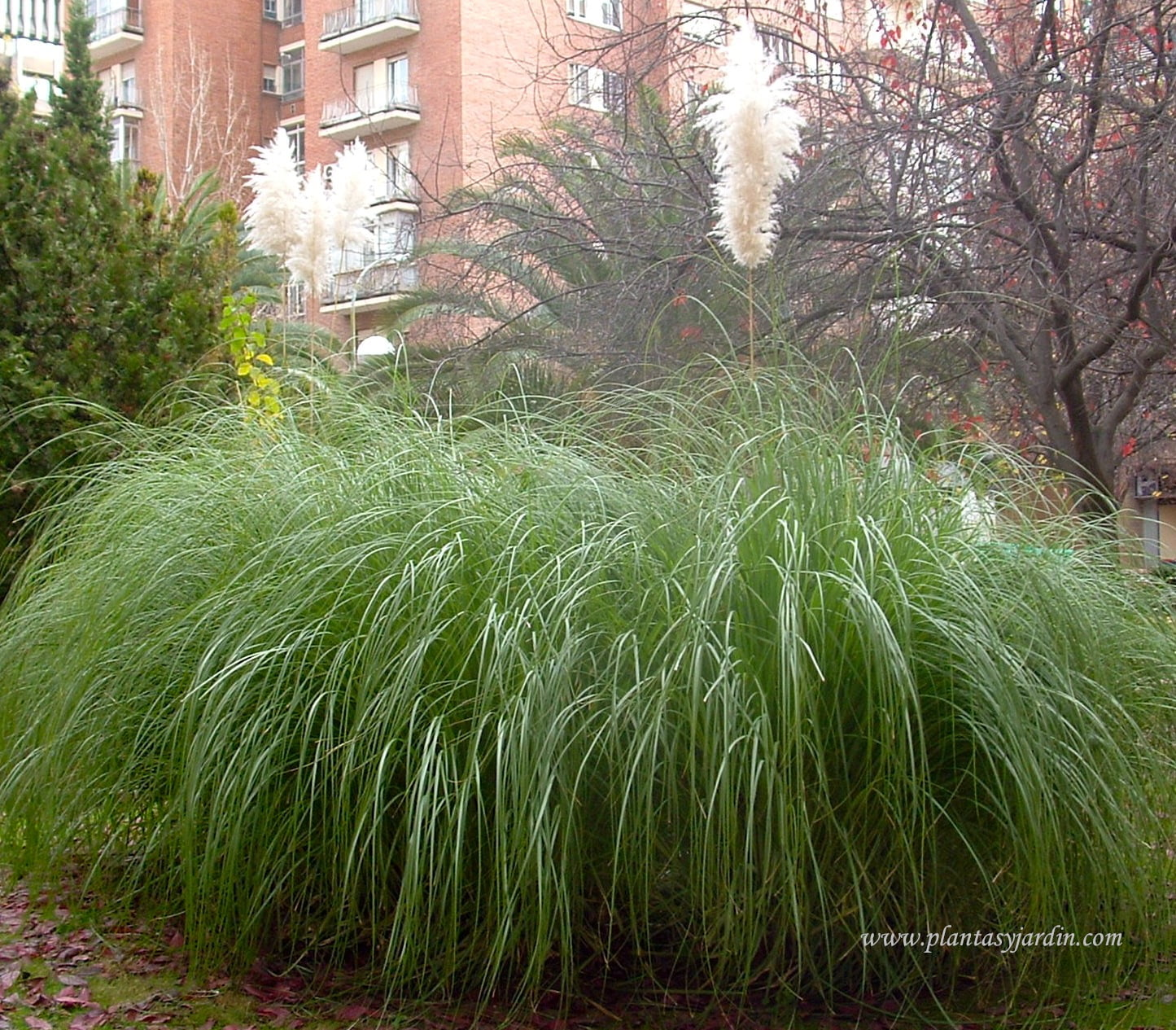 Po ceas plantas jard n for Matas ornamentales