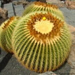 Echinocactus grusonii-Asiento de la suegra.