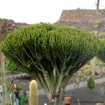 Euphorbia candelabrum-Candelabro