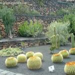 Echinocactus grusonii en el Jardín de cactus de César Manrique.