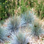 Festuca glauca con inflorescencias