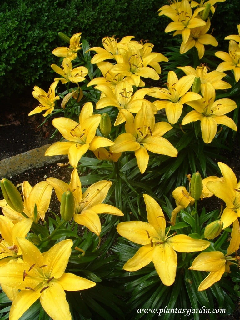 "Lilium ""sunray"" detalle flor & hoja"