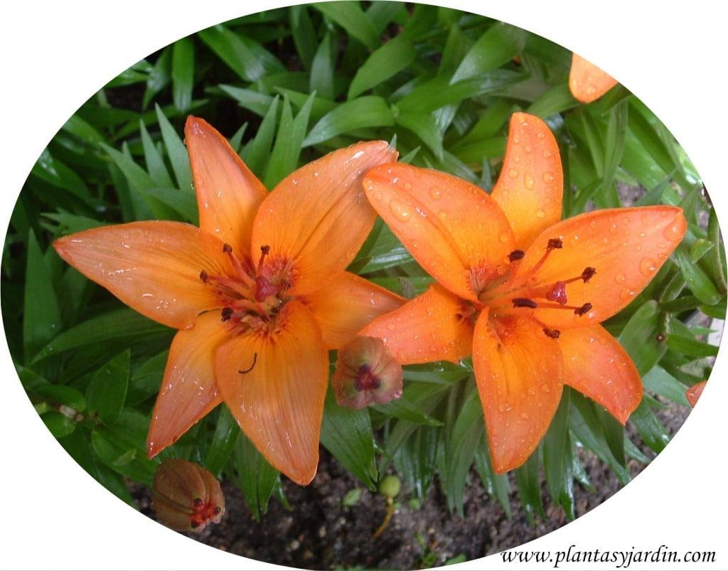Lilium treffer detalle flor