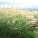 Miscanthus sinensis. Foto: Wikipedia.