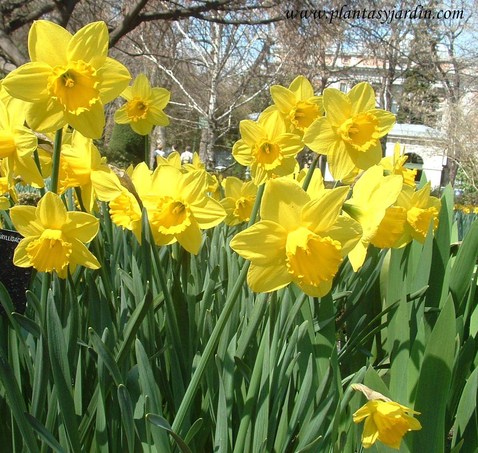 "Narcissus ""California"""