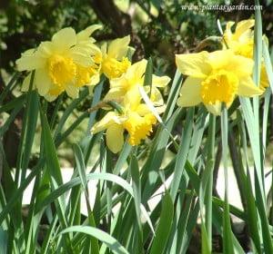 "Narcissus ""Carlton"""