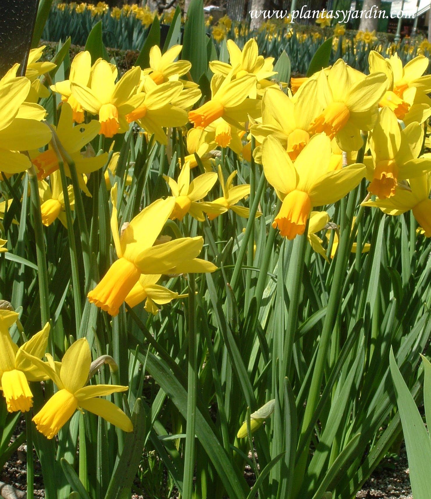 """Narcissus """"Ltzim"""""""