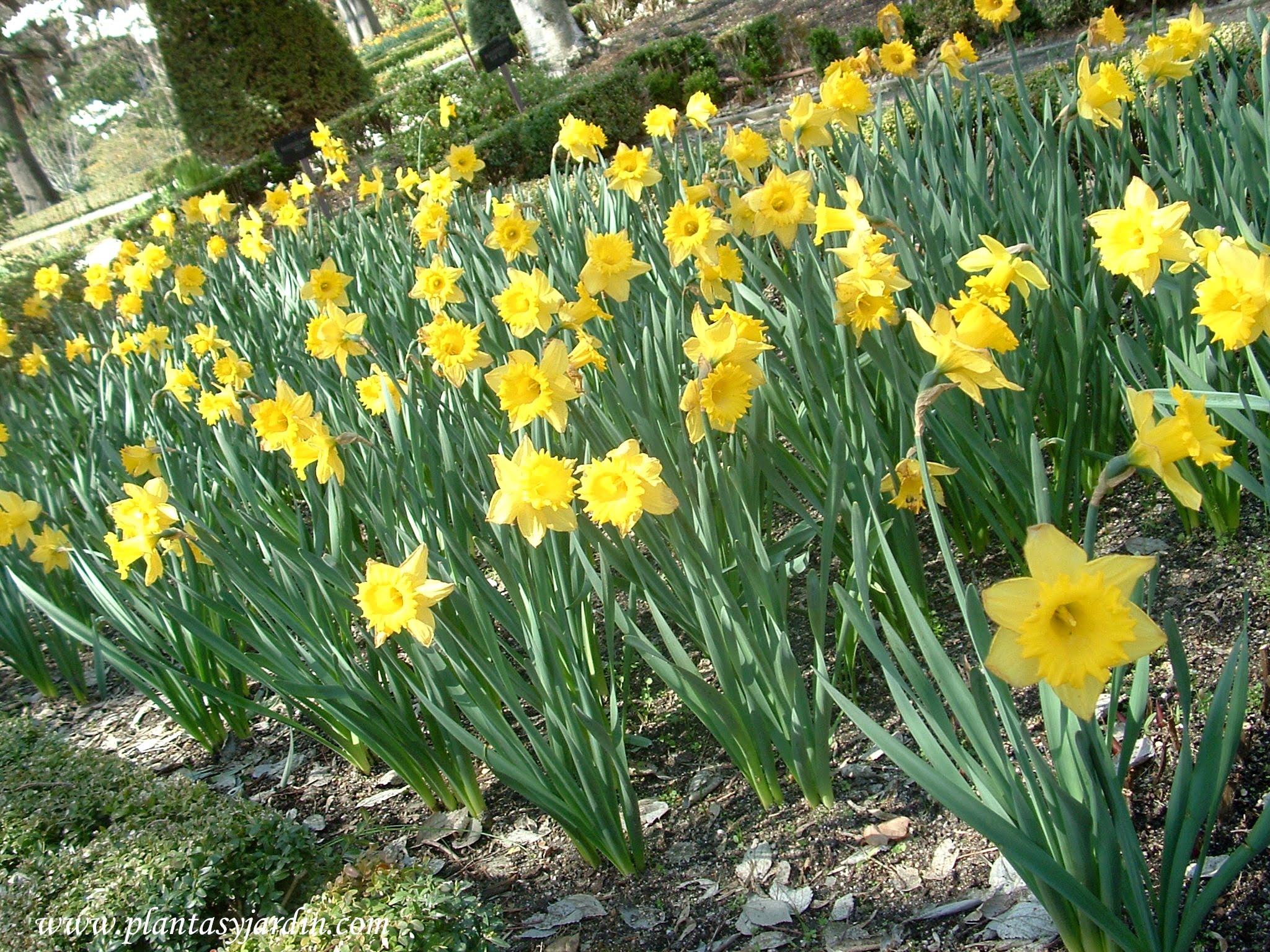 "Narcissus ""Dutch Master"", macizo floral"