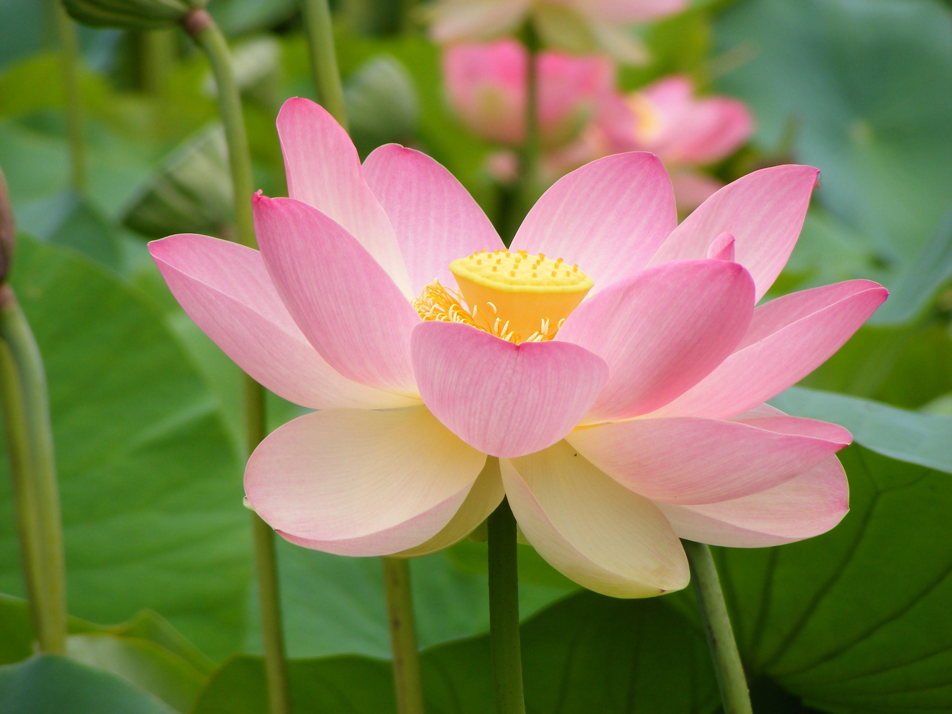 (*) Nelumbo nucifera-Loto de la India-Rosa del Nilo.