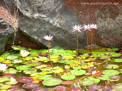 Nenufares en flor en verano