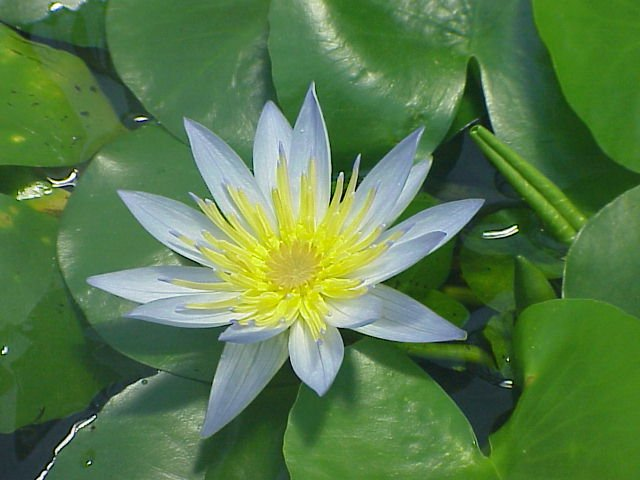 Nymphaea thermarum. Foto: Wikipedia