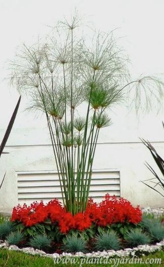 Cyperus papyrus con Festucas
