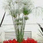 Cyperus papyrus con Festucas glaucas.