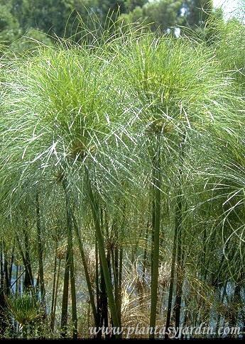 Cyperus papyrus, inflorescencias en umbellas