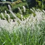 Pennisetum orientale en verano.