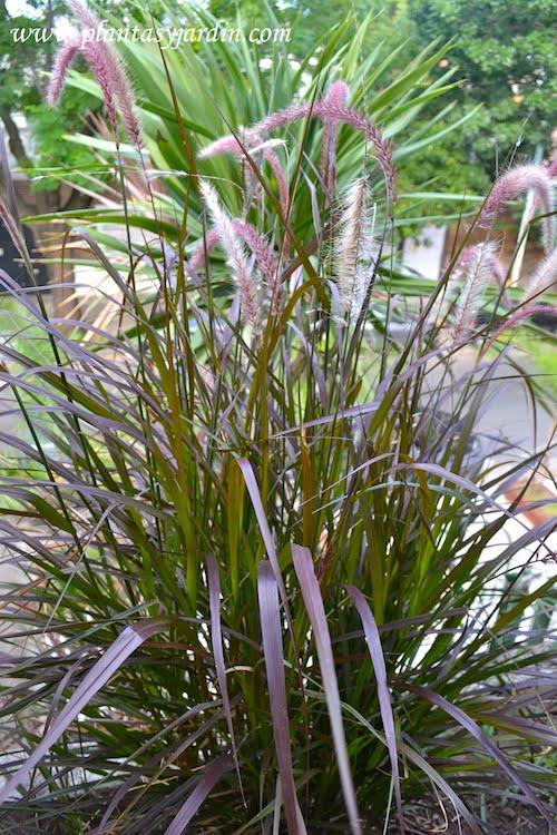 Pennisetum rubrum detalle de hojas acintadas