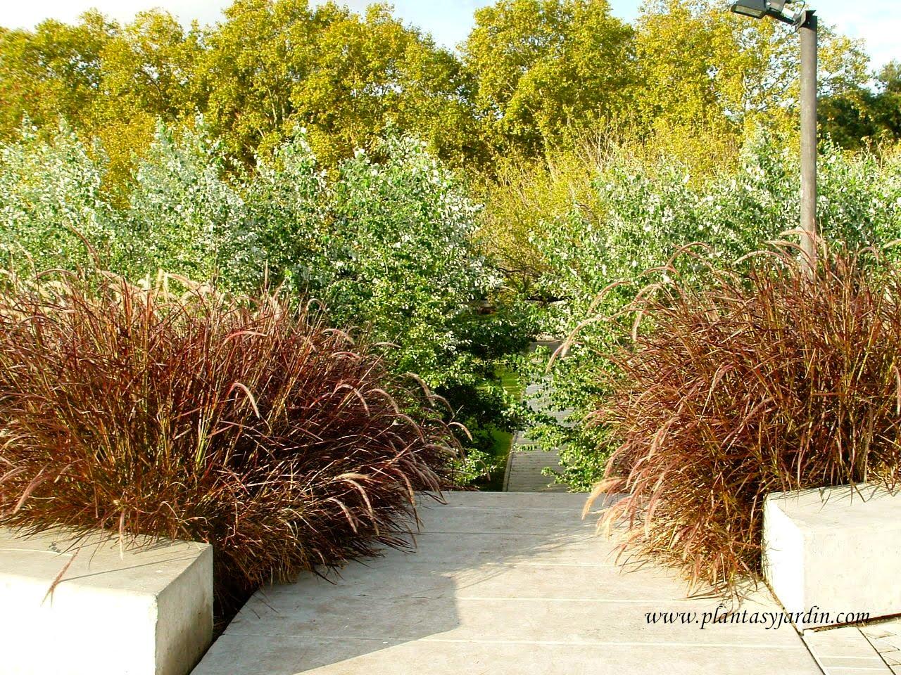 Pennisetum rubrum en contraste de colores y texturas.