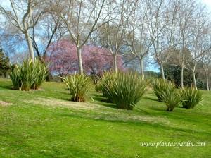 Phormium plantados en conjunto en un parque público.