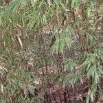 Phyllostachys nigra-Bambu chino negro.
