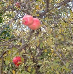 Punica granatum-Granado, detalle del fruto