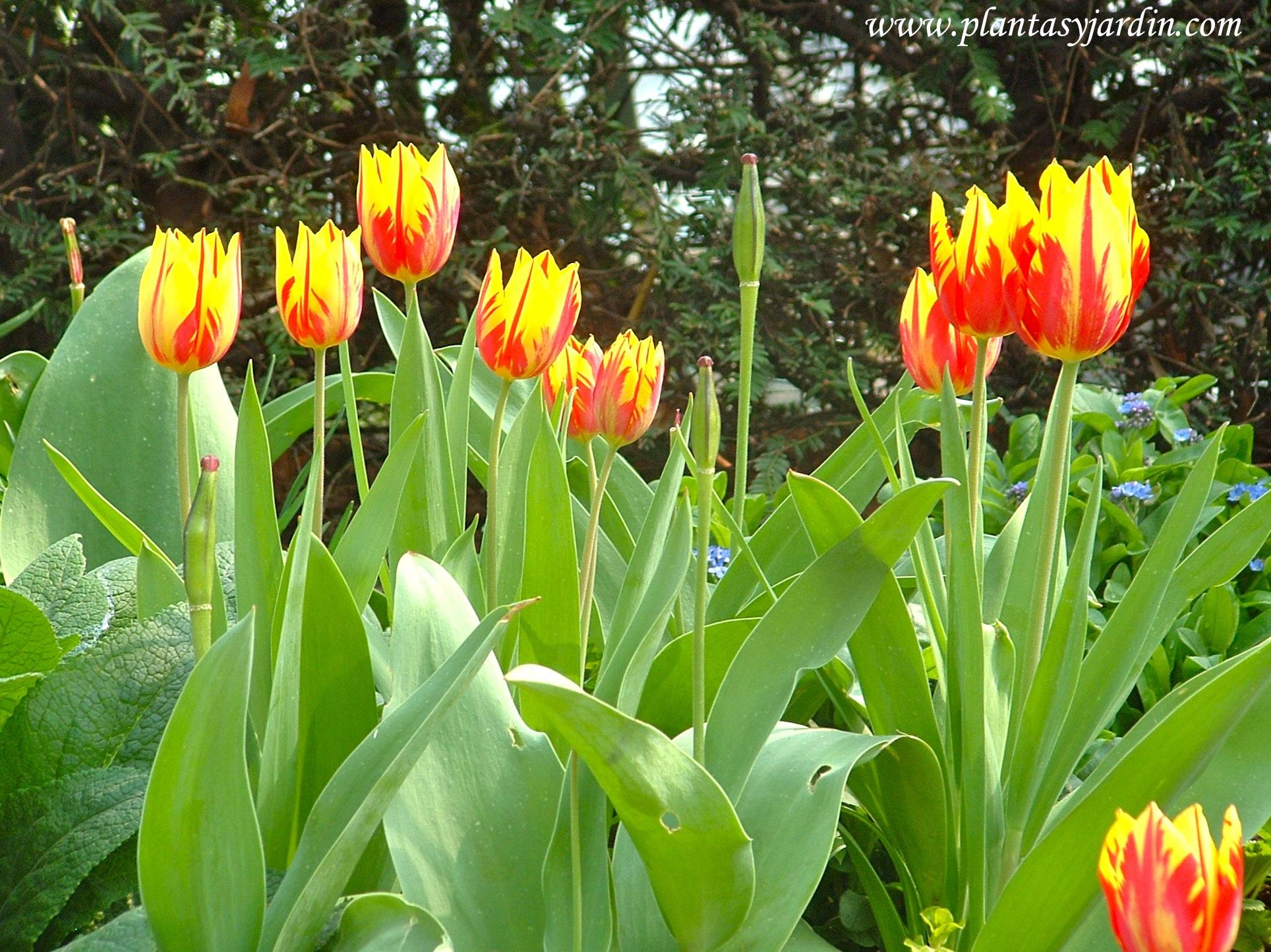 Tulipanes rojos y amarillos en la Promenade Plantée.
