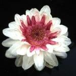 (*) flor de Victoria cruziana.