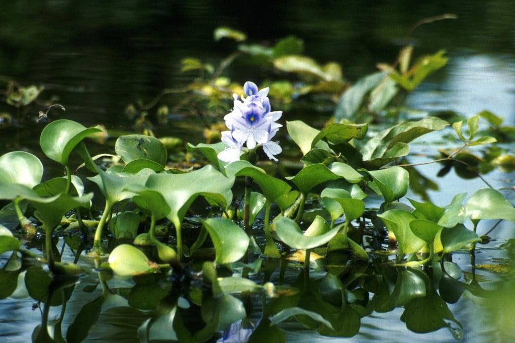 Camalotes en flor