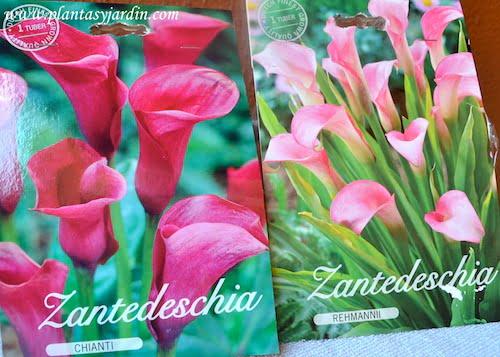 Zantedeschia Chianti-Rehmannii