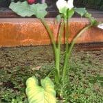 Zantedeschia aethiopica en flor en estanque dentro de un invernadero