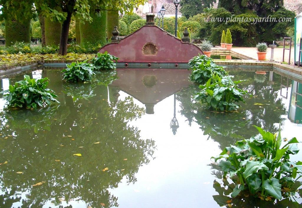 Zantedeschias en estanque.