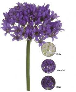 colores de la flor de los Agapanthus