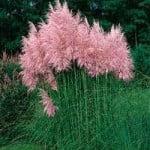 Cortaderia selloana, con inflorescencias rosadas. Foto: Wikipedia.