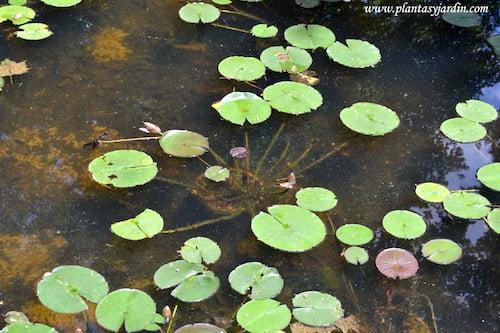 Nenúfares detalle del cultivo en macetas en el fondo del estanque