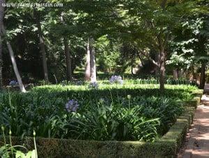 parterres de Agapantos florecidos en verano