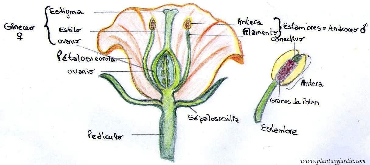 Las Angiospermas partes de una flor – Plantas & Jardín