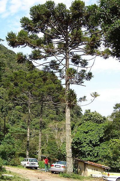 Araucaria angustifolia, ejemplar adulto. Foto: Wikipedia.